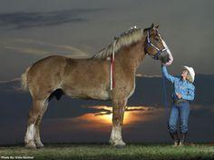 Radar, the worlds tallest horse
