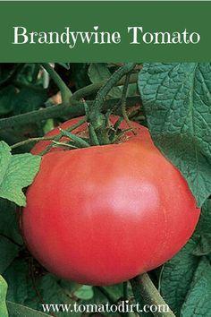 Brandywine Tomato with Tomato Dirt #GrowTomatoes #HomeGardening Types Of Tomatoes, Yellow Tomatoes, Growing Tomatoes, Cherry Tomatoes, Tomato Seedlings, Tomato Plants, Saving Tomato Seeds, Brandywine Tomato, Determinate Tomatoes