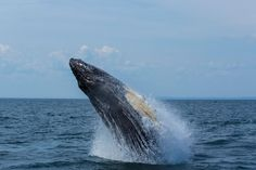 We've been whale-watching around the globe, and our experience on Grand Manan Island in New Brunswick was by far the most spectacular. Ocean Pollution, Water Sources, Monterey Bay, New Brunswick, Humpback Whale, Killer Whales, Sea And Ocean, Whale Watching, Staycation