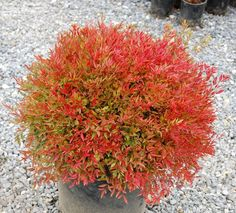 Nandina domestica (Heavenly Bamboo) colorful fall foliage color, interesting flowers, autumn berries and is evergreen,