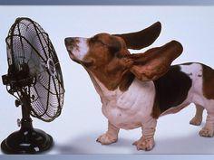 Cooling Off by Sweet_Neko #Basset_Hound #Fan #Sweet_Neko