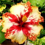 Exotic Hibiscus 'Pixie Prince'