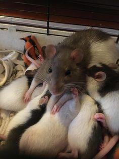 Being a mom isn't easy #aww #cute #rat #cuterats #ratsofpinterest #cuddle #fluffy #animals #pets #bestfriend #ittssofluffy #boopthesnoot