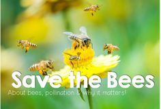 A board about bees, pollination and how important they are for the planet. Loads of resources and information for teaching the subject and raising awareness.