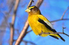 Bird, Bright Colors, Evening Grosbeak, Nature