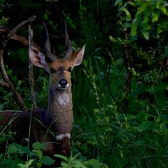 Bushbuck ram by Isabel Display Advertising, Print Advertising, Marketing And Advertising, Ram Photos, Stock Photos, Kruger National Park, National Parks, Retail Merchandising, Us Images