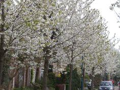Bloeiende bomen, Heiloo