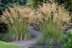 stipa gigantea - Google Search
