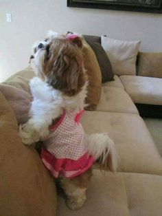 ShihTzu in a dress 👗