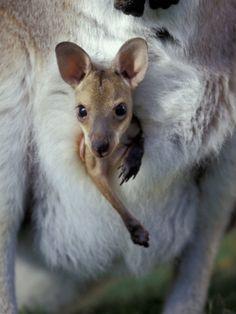 Joey in pouch #kangaroo #joey #australia #wildlife