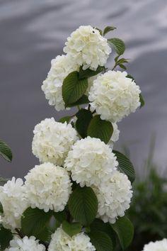 Japanse sneeuwbal (Viburnum plicatum 'Newport')