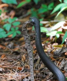 For my local friends - please don't be afraid of the black racer snakes...they are harmless to us and eat the poisonous snakes that lurk around our houses.    black racer carrying off a copperhead rattlesnake to finish eating