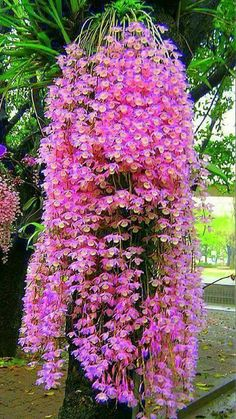 how often do orchids bloom Unusual Flowers, Most Beautiful Flowers, Pretty Flowers, Beautiful Gardens, Simply Beautiful, Flowers Nature, Tropical Flowers, Orquideas Cymbidium, Dendrobium Orchids