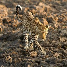 Leopardess - Pula