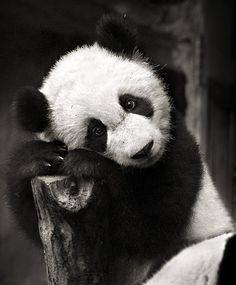 One of iMy favorite animal :) Panda: Connections, balance, adaptability, kindness, sensitivity, playful