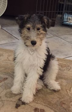 Wire Fox Terrier Poodle Mix Puppies Goldenacresdogs Com