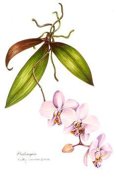Kathy Cranmer | American Society of Botanical Artists