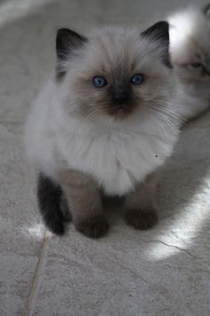 brown colorpoint babygirl ragdoll <3 Collicatin kissala / Collicatin cattery