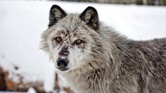 Wolf Watching in Yellowstone National Park - Outdoor - MensJournal.com