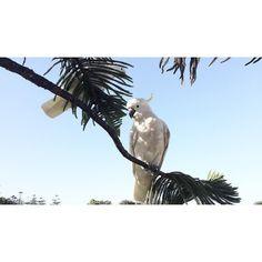 Wildlife  .  #Australia #Lorne #travel #exotic #birds #cockatoo #palmtree #wildlife #sunnyday #landscape #summer #adventure #explore by wissem_bsm http://ift.tt/1IIGiLS
