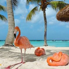 There's a Private Beach in Aruba Where You Can Literally Hang Out With Flamingos - Animals Aruba Flamingos, Flamingo Beach Aruba, Pink Flamingos, Our National Bird, Beach Please, Flamingo Art, Pink Bird, Beautiful Birds, Beautiful Creatures