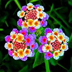 New pcs/lot Lantana camara flower seeds,Rare Perennial Herb Gorgeous Bonsai Tree Plant For Home Garden potted seed 6 Lantana Flower, Lantana Plant, Lantana Tree, Unique Flowers, Exotic Flowers, Love Flowers, Beautiful Flowers, Beautiful Beautiful, Small Gardens