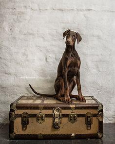 Sweet #Doberman puppy. © wolf shadow photography
