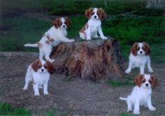 5 cute Blenheim Puppies!  Cavalier King Charles Spaniel
