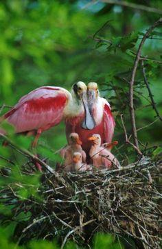 Roseate Spoonbill family