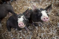 raise it right, eat well and teach your methods to the next generation, Stone Barns Center pioneering a balanced ecology from farm to plate This Little Piggy, Little Pigs, Blue Hill Farm, Kune Kune Pigs, Sheep Pig, Pot Belly Pigs, Teacup Pigs, Oriental Cat, Whippet Dog