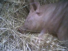 Sweet Dreams, Piggy