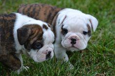 Cute bulldog puppies