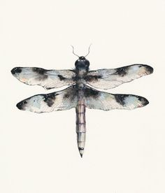 Male Common Whitetail Dragonfly  archival print by amberalexander, $ 20.00