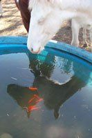 Keep Water Troughs Clean with Goldfish ... they're great for eating mosquito larvae. Just keep the ducks away!