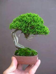 50 pcs/bag Miniature pine seeds, bonsai tree seeds, indoor woody plants, pine tree perennial plant for miniature garden Mini Bonsai, Indoor Bonsai Tree, Bonsai Plants, Bonsai Garden, Ikebana, Mini Plantas, Minis, Juniper Bonsai, Plantas Bonsai