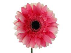 Vara de gerbera mini con el centro negro de flor artificial y tallo verde sin hojas de altura 45 cm. Disponible en colores crema, amarillo, rosa y naranja.