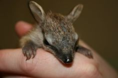 Hand-rearing Baby Numbats