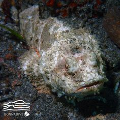 Stonefish the most venomous fish in the world shortfilm for Moai fish tank cleaner
