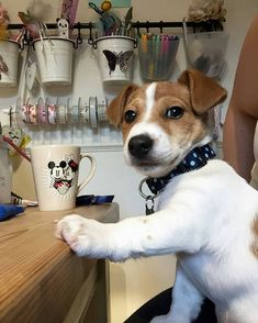 """Gefällt 3,251 Mal, 17 Kommentare - Jack Russell Daily (@jackrussell_daily) auf Instagram: """"Looking for unique Jack Russell products? TAP the link in my bio to get it!   Credit:…"""""""