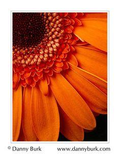 Sunset orange :) daisy flower