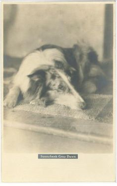 "Gray Dawn One of Albert Payson Terhune's collies. Terhune is the author of ""LAD"" a dog."