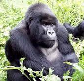 mountain gorilla photos - Google Search