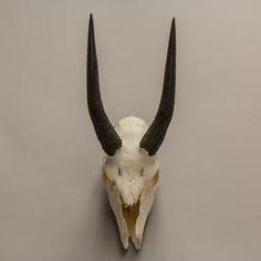 WOK-3604: Bushbuck Skull  (Natural Bone)