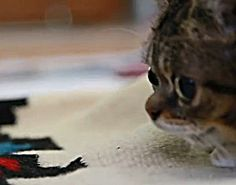 Lil Bub Playing -- The Fierce Animal Video of the Day!!!   ... see more at PetsLady.com ... The FUN site for Animal Lovers