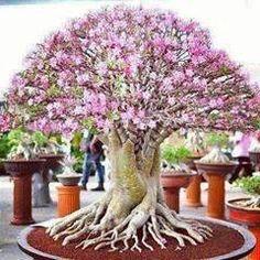 True Adenium Obesum Desert Rose Seeds for Home Garden Rose Flower Seeds Bonsai Plant Bonsai Azalea, Bonsai Tree Types, Bonsai Trees, Indoor Bonsai, Miniature Trees, Desert Rose, Small Trees, Trees To Plant, Shrubs
