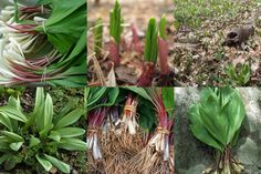 10 Ramps/wild leek/Allium tricoccum~HERB early spring LIVE PLANTS for re-planting Early spring groun Edible Wild Plants, All Plants, Live Plants, Wild Ramps, Wild Onions, Wild Garlic, Hardy Perennials, Wild Edibles, Deciduous Trees