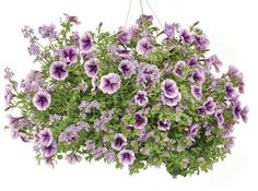 Petunia, Nemesia, Bacopa, Basket, 14 in