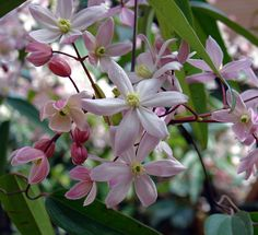 Clematis Vines | Clematis » Clematis armandii apple blossom