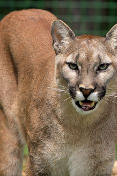 Cougar Hd images mountain lion big cat feline animals and pets beautiful HD snaps / Clickasnap Diy Outfits, Amazing Animals, Animals Beautiful, Pumas Animal, Mountain Lion Hunting, Big Cats, Cats And Kittens, San Francisco Zoo, Canadian Wildlife