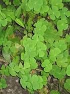 Pteridófitas. Marsilea crenata, é uma espécie de samambaia encontrada no sudeste da Ásia. É uma planta aquática que olha como um trevo de quatro folhas. Folhas flutuantes em águas profundas ou ereto em águas rasas ou em terra. Folhetos glauco, sporocarp elipsóide, em hastes anexado à base de pecíolos.